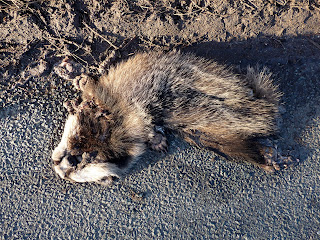 A dead badger in the road.