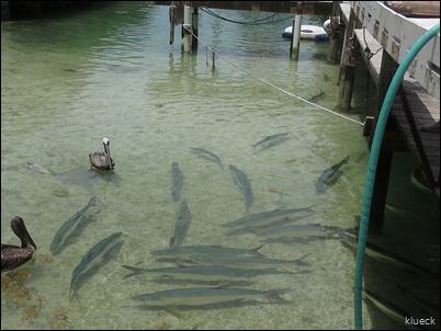 Tarpon feeding at Robbies
