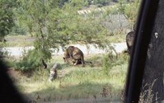 1991.08.24-098.17 lions