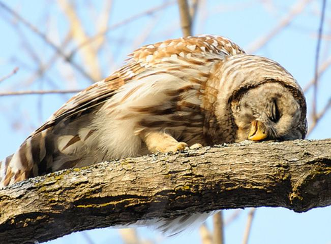 (image via) This is how owls actually sleep.. who knew?