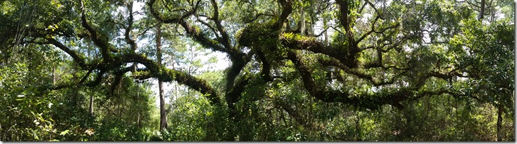 Oak with resurrection ferns-pano