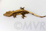 Lemon Party - AC Reptiles C2 lines 99% pinstripe adult male crested gecko from moonvalleyreptiles.com