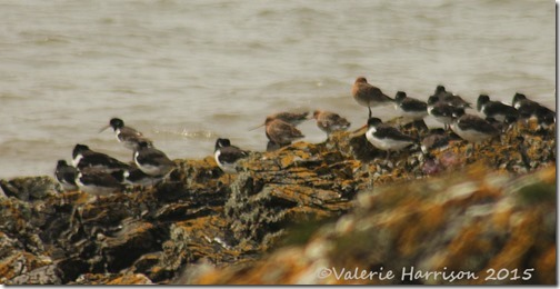 31-Black-tailed-Godwits-and-oystercatchers
