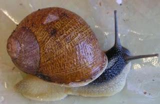 Foto del caracol tomada desde arriba