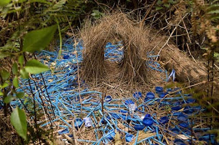 Bower-Bird namdur