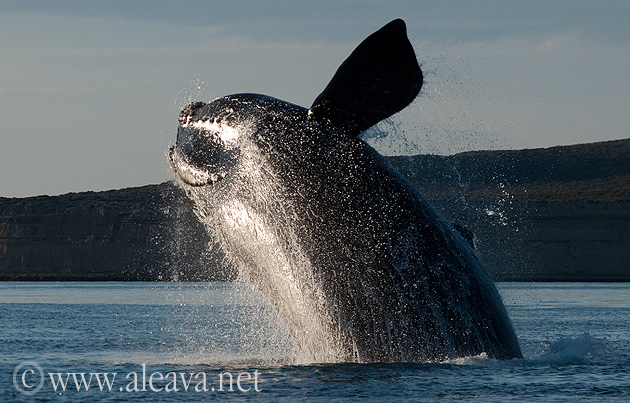Whale watching, Patagonia Argentina nature show