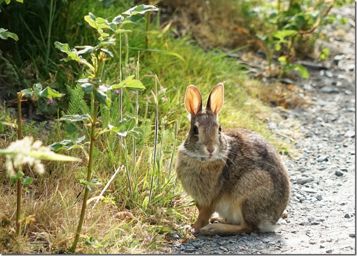 anacortes baby cottontail 061715 00003