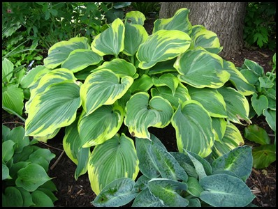 hosta_earth_angel