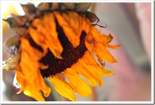 sunflowers 024