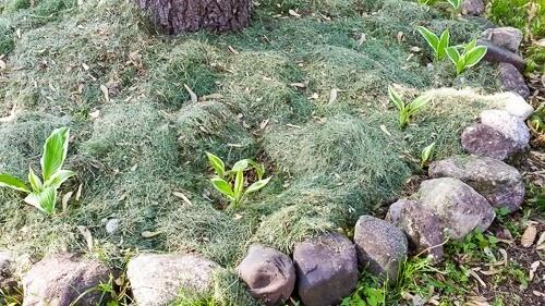 Planting Hostas