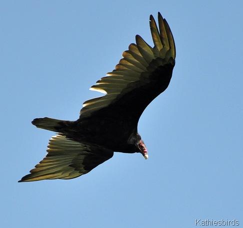 4. turkey vulture 6-14-15-kab