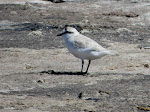 White-fronted plover (photo by Clare). I really liked these plovers because they were so clean, white, and fluffy!