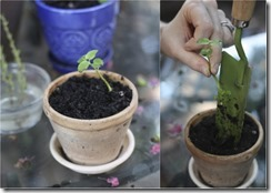 1425810962-planting-herbs-in-pots