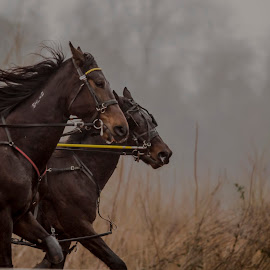 Challenged by Jim Davis - Animals Horses ( chariot/harness racing, animals, horses, racing, sport )