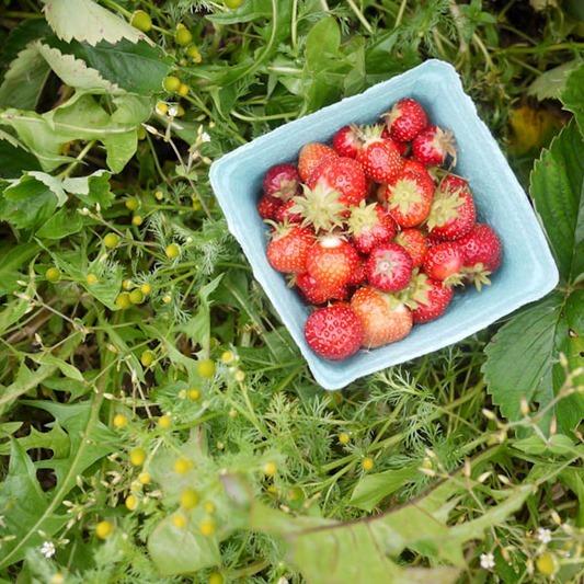 strawberry_picking-1-9