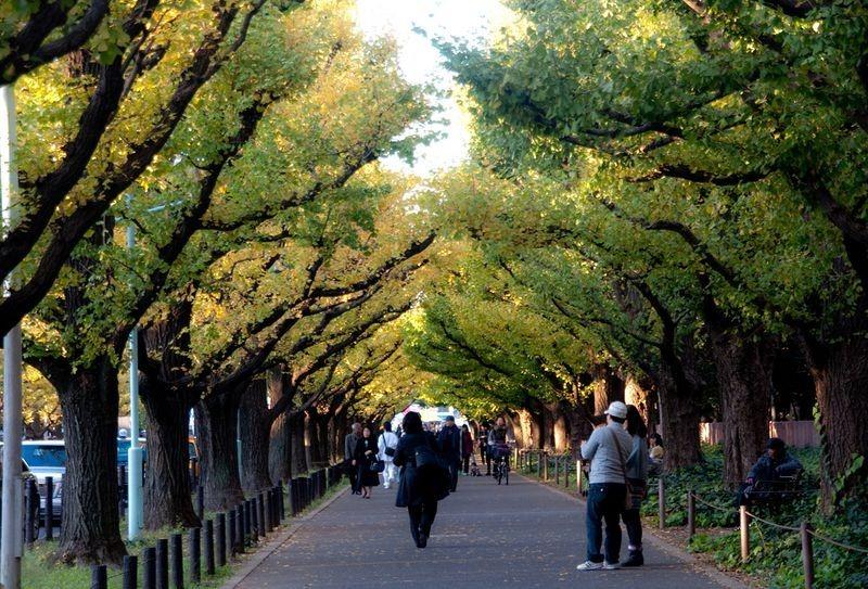 ginkgo-avenue-tokyo-4