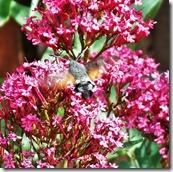 Hummingbird Hawkmoth June 2015 (3)