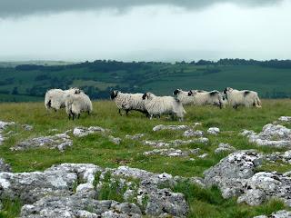 Sheep on Heughscar Hill