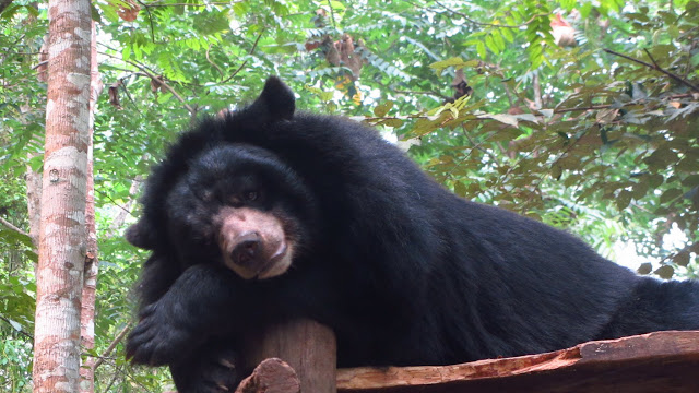 An Asiatic Black Bear.