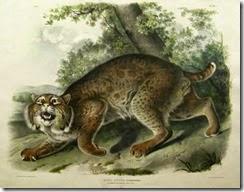 Audubon,_American_Wildcat