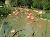 Pink Flamingos at the Nashville Zoo 09032011b