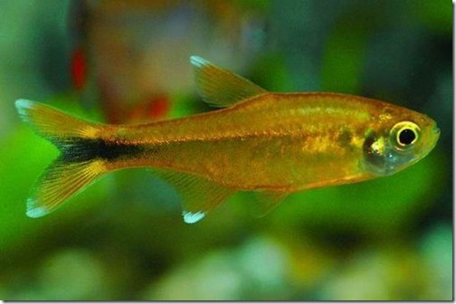 be-ca-canh-silvertip_tetra_caduoiden003-be-thuy-sinh