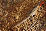 Lava Lizard with the Strong Red Coloration
