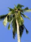 Uwaga na spadające kokosy!