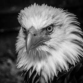 Wotan by Garry Chisholm - Black & White Animals ( bird, garry chisholm, eagle, nature, wildlife, prey, raptor )