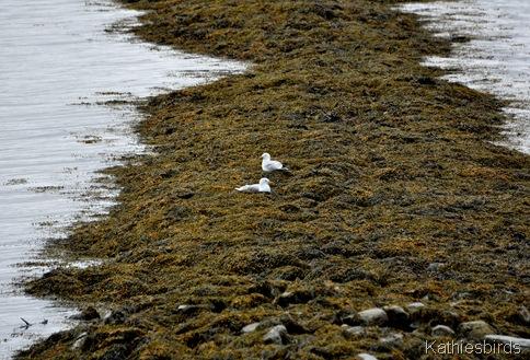 2. gulls at Simspon Point-kab