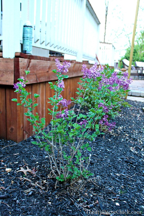 reblooming lilac bush