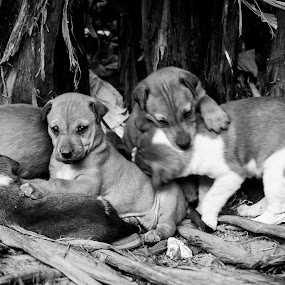 Puppies 1 by Soumyaroop  Chatterjee  - Animals - Dogs Playing ( contrast, animals, puppies, b&w, kolkata, street, college, puppy, dog, filter, street dog, canon 550d )