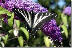 lopez tiger swallowtail 062015 00003