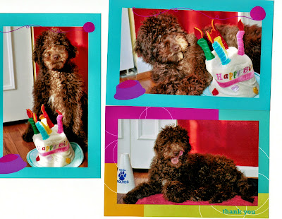 fun loving labradoodle from gorgeousdoodles
