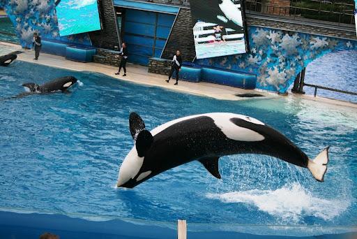 圣地亚哥海洋世界--杀人鲸表演
