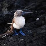 Atobá de pé azul com a asa quebrada - Isabela - Galápagos, Equador