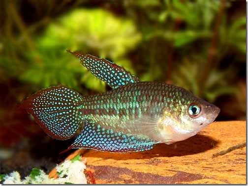 be-ca-canh-sparkling_gourami_green_croaking_gourami_cathanhngoc-be-thuy-sinh