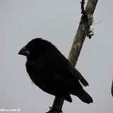 Tentilhão, pássaro que ajudou Darwin a desenvolver a Teoria da evolução das Espécies- Puerto Ayora, Santa Cruz - Galápagos, Equador
