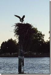 Piankatank Edwards Creek osprey 1
