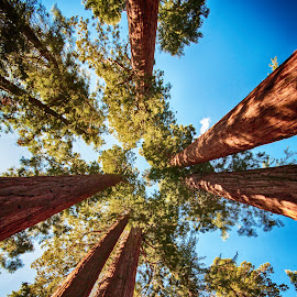 Sequoia by Richard Michael Lingo - Nature Up Close Trees & Bushes ( giant sequoia national park, nature, california, sequoia, trees )