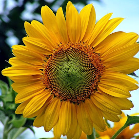 Sunflower by Scott Staley - Nature Up Close Flowers - 2011-2013 ( plant, nature, flora, botanical, floral, flower, Flowers, Flower Arrangements )