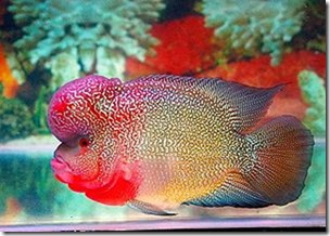 be-ca-canh-flowerhorn_calahan004-be-thuy-sinh