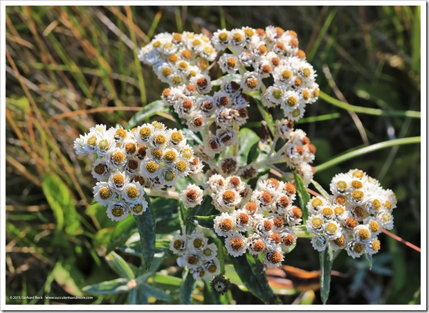 150910_Adak_pearly_everlasting_WM