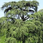 Parc de la Maison de Chateaubriand : cèdre
