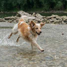 Refreshment by Dubravka Krickic - Animals - Dogs Running ( water, playing, action, cute, dog, running, river )