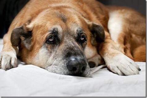 i tumori nel cane anziano 1