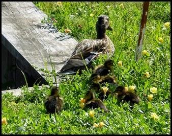 11b - Baby ducks