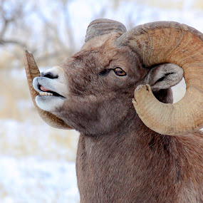 In the air. by Brandi Nichols - Animals Other ( yellowstone, ram, sheep, bighorn,  )