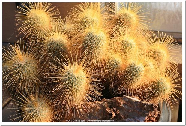 141227_Huntington_0413_Mammillaria-magnifica
