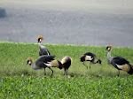 Grey crowned cranes (photo by Clare)